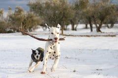 Het Dalmatische hond spelen met een stok stock foto's