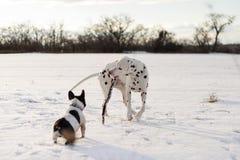 Het Dalmatische hond spelen met een stok, met een Franse buldog royalty-vrije stock afbeelding