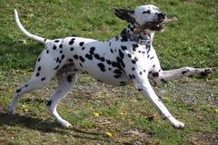 Het Dalmatische hond spelen met stok Stock Foto's