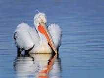 Het Dalmatische pelikaan zwemmen Stock Foto's