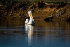 Het Dalmatische pelikaanportret in vroeg ochtend blauw uur in meer water en het vangen vist bij het Nationale Park van Keoladeo,  stock fotografie