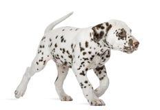 Het Dalmatische puppy lopen Stock Fotografie