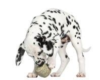 Het Dalmatische puppy spelen met een geïsoleerde tennisbal, Stock Afbeeldingen