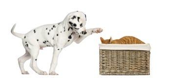 Het Dalmatische puppy spelen met een kat Stock Foto