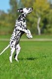 Het Dalmatische puppy springt omhoog Royalty-vrije Stock Foto's