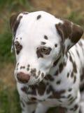 Het Dalmatische puppy van de lever Royalty-vrije Stock Foto