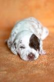 Het Dalmatische puppy van de lever met flard Stock Afbeelding