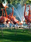 Het dansen flamingo's royalty-vrije stock foto