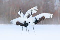 Het dansen paar van rood-Bekroonde kraan met open vleugel tijdens de vlucht, met sneeuwonweer, Hokkaido, Japan Vogel in vlieg, de stock afbeeldingen