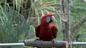 Het dansen papegaai dicht omhoog stock videobeelden