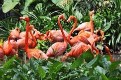 Het dansen van flamingo's stock afbeeldingen