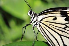 Het dansen vlinder Stock Foto's