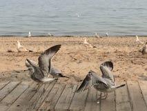 Het dansen zeemeeuwen in Toronto, Ontario, Canada stock foto's