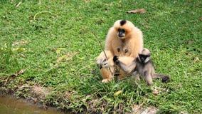 Het de bruine moeder en jonge geitje van de Gibbon Stock Fotografie