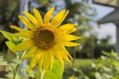 Het de daglicht van de zonbloem Stock Foto's