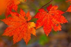 Het de herfstbos, al gebladerte is geschilderd met gouden kleur in het midden van de bosweg Stock Afbeelding