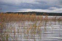 Het de herfstlandschap met donkere regen betrekt en kleurrijk riet groeiend in water van meer Stock Foto