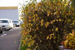 Het de herfstpark, boeket van rozen van gevallen esdoornbladeren dat worden gemaakt ligt Stock Foto's
