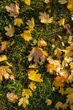 Het de herfstpark, op de esdoornbladeren van gevallen op groen gras ligt h Stock Fotografie
