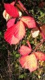 Het de herfstrood doorbladert Stock Foto