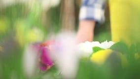 Het de lenteconcept, vrouwenbloemist behandelt bloemeninstallaties stock footage