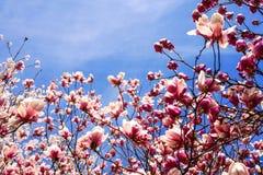 Het de lentelandschap van pruimbloesems royalty-vrije stock afbeelding