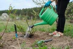 Het de lentewerk in tuin, het vrouwelijke tuinman water geven nam struik toe, wordt de grond onder struik losgemaakt met tuinhulp stock foto