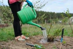 Het de lentewerk in tuin, het vrouwelijke tuinman water geven nam struik toe, wordt de grond onder struik losgemaakt met tuinhulp stock afbeeldingen