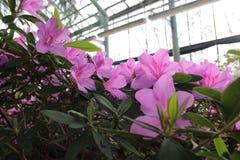 Het de mooie bloemen van ` s van azalies van Botanische Tuin van Peter Groot Royalty-vrije Stock Fotografie
