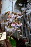 Het de mooie bloemen van ` s van roze sakura Royalty-vrije Stock Foto
