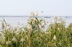 Het de rivier en riet van Yangtze stock afbeelding