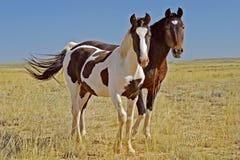 Het de wilde Merrie en Veulen van de Mustang royalty-vrije stock foto's