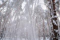 In het de winterbos, breekt de strengheid van de sneeuw de bomen royalty-vrije stock afbeeldingen
