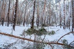 In het de winterbos, breekt de strengheid van de sneeuw de bomen royalty-vrije stock fotografie