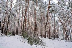 In het de winterbos, breekt de strengheid van de sneeuw de bomen royalty-vrije stock afbeelding