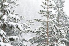 Het de winterlandschap met een pijnboombos met sneeuw tijdens een sneeuwval met snow-covered boom wordt behandeld die vertakt zic stock foto