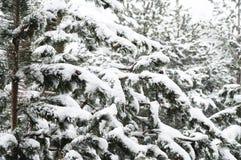 Het de winterlandschap met een pijnboombos met sneeuw tijdens een sneeuwval met snow-covered boom wordt behandeld die vertakt zic royalty-vrije stock fotografie