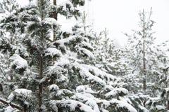 Het de winterlandschap met een pijnboombos met sneeuw tijdens een sneeuwval met snow-covered boom wordt behandeld die vertakt zic stock foto's