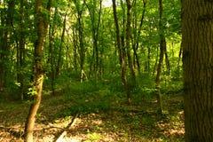 Het de zomerbos, het sunsummer wilde bos, de zon is mooi, zijn onvergetelijke schoonheid royalty-vrije stock afbeeldingen