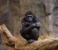 Het Denken van de Aap van de gorilla Royalty-vrije Stock Afbeelding