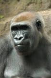 Het Denken van de gorilla Stock Afbeelding