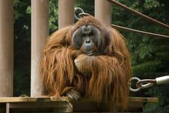 Het denken van de orangoetan Stock Foto's