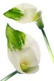 Het detail van de bloem en geïsoleerd Royalty-vrije Stock Fotografie