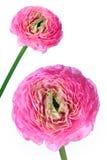 Het detail van de bloem en geïsoleerdo Royalty-vrije Stock Fotografie