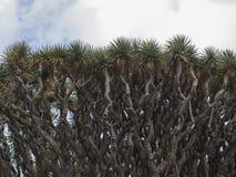 Het detail van de boomkroon van de oude van drago beroemde millenario van Gr reus 2000 y royalty-vrije stock afbeelding