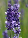 Het detail van de lavendel royalty-vrije stock fotografie