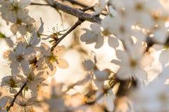 Het detail van de Lente bloeit Wilde Fruitstruiken in de Zonsondergang Stock Fotografie