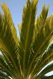 Het detail van de palm Stock Afbeelding