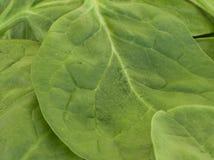Het Detail van de spinazie Stock Afbeelding