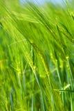 Het detail van de tarwe Stock Fotografie